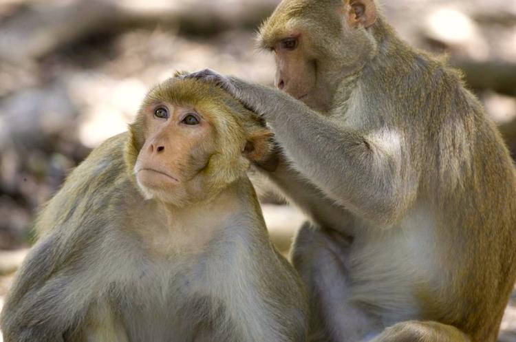 Robert Goy and his co-researchers in the mid 1980s showed that it was possible to masculinize female monkeys by exposing them to the male hormone androgen prior to birth - hormones make monkeys FTM - What Makes Us FTM?